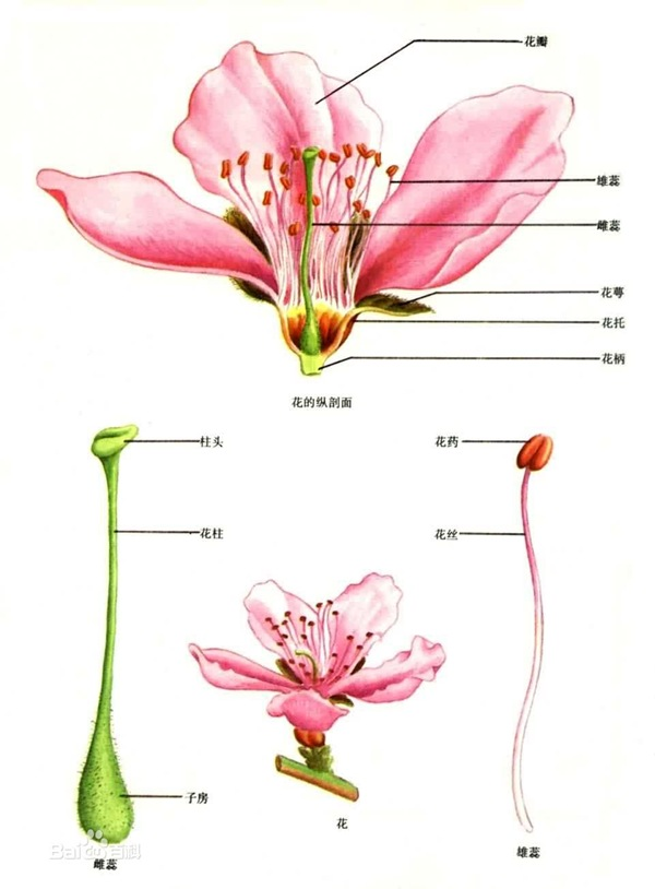 被子植物花的结构