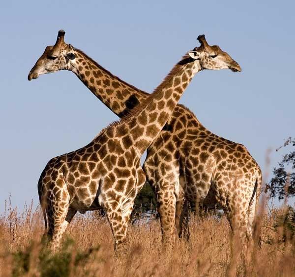 长颈鹿是世界上身体最高的珍奇动物